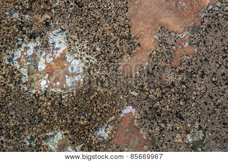 Barnacles On Copper-colored Rock
