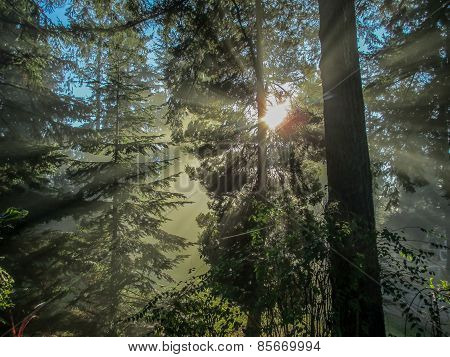 Evergreens Bathed In Rays Of Sunlight 2