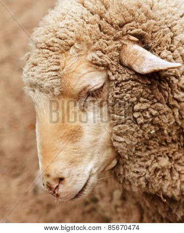 woolly sheep in zoo, summer day