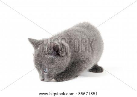 Grey Kitten On A White Background