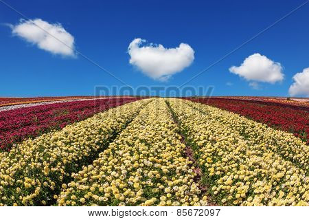 Beautiful spring day on a farm on cultivation of buttercups garden. Large field of yellow and red flowers