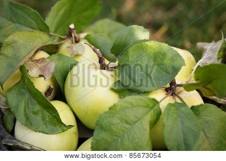 Fresh Apple Crop Outdoors