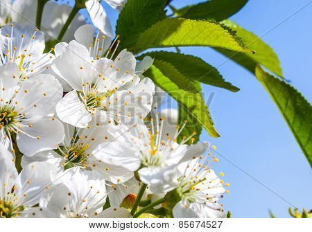 Flowers of the cherry tree, spring backgrounds