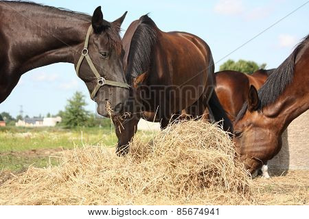 Herd Of Brown Horses Eating Dry Hay
