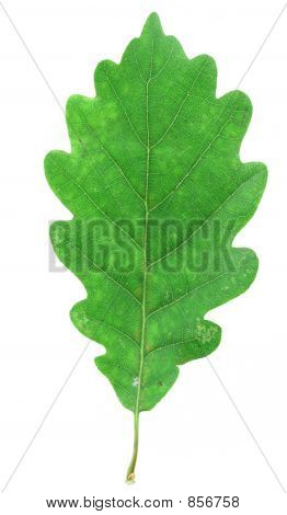 green oak leaf on white