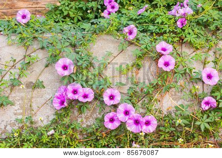 Purple Ipomoea Pes-caprae Sweet