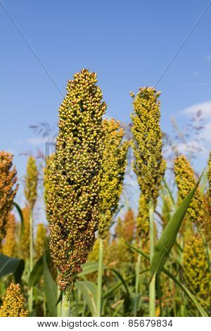 Sorghum Farming Field