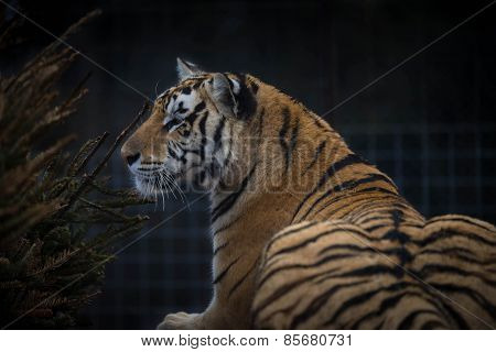 Tigress in the sanctuary 2