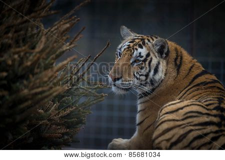 Tigress in the sanctuary 3