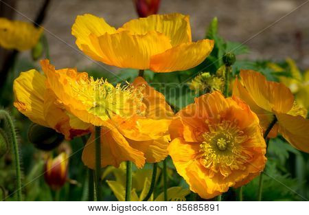 California Orange Poppies
