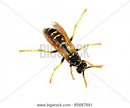 wasp isolated on white background
