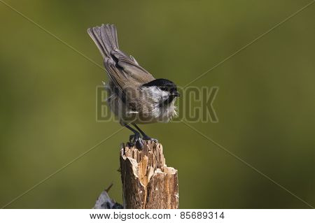 Marsh tit perched on a branch, Vosges, France