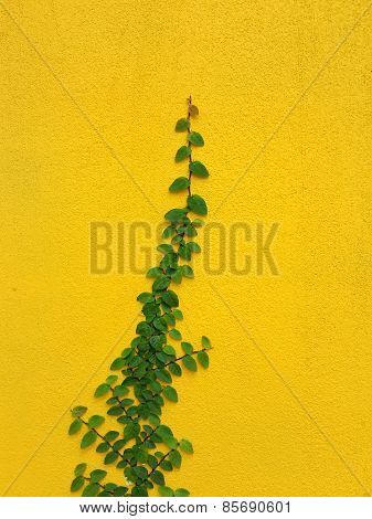 Coatbuttons Mexican Daisy Plant On Yellow Wall