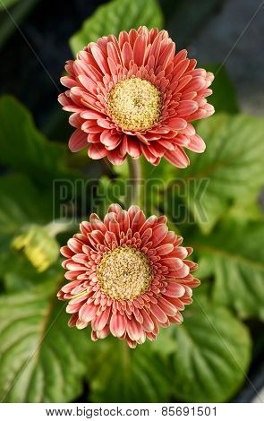 Flowering Red Gerbera Daisies