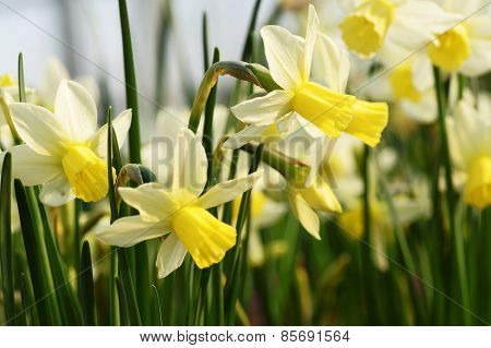 Bicolor Narcissus Or Daffodils