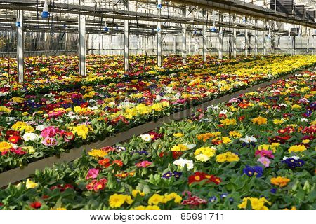 Primula Plantation At A Floriculture Farm