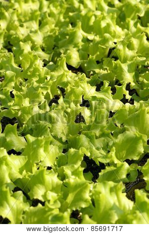 Young Fresh Green Lettuce Plants