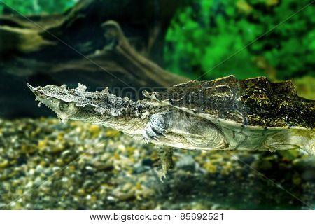 Freshwater Exotic Turtles Matamata