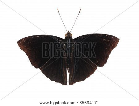 Isolated Male Of Black Siamese Prince Butterfly