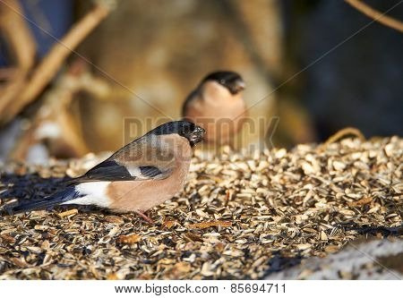 Bullfinch Eating Sunflower Seeds