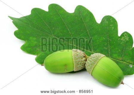 two acorns on oak leaf 2