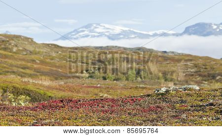 Arctostaphylos alpinus, red bear-berry on the tundra.