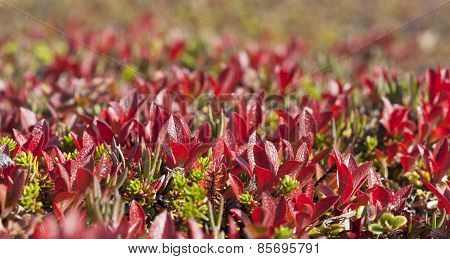 Close up on Arctostaphylos alpinus, red bear-berry on the tundra.