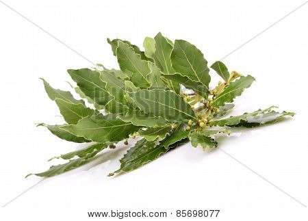 Fresh Laurel leaves branch