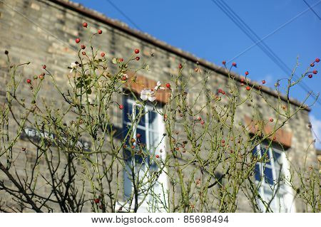Rosehip Bush Growing Outside House