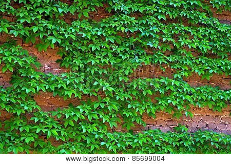 Creeping Plants On Wall.