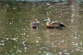 stock photo of rainy day  - Two ducks in the water on a rainy day - JPG