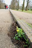 stock photo of celandine  - Wild spring flower celandine growing from roadside - JPG
