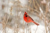 stock photo of cardinal-bird  - Male northern cardinal perched on a branch following a winter storm