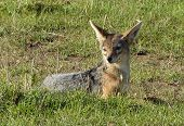 picture of jackal  - A cute jackal laying in the grass - JPG