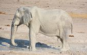 foto of mud  - View of elephants covered in white mud (Etosha National Park). The