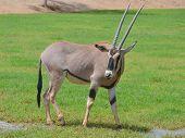 pic of antelope horn  - The scimitar oryx or scimitar - JPG