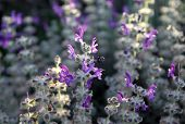 picture of salvia  - Spring flowering of salvia in the desert - JPG
