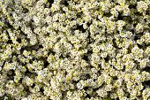 image of dainty  - Overhead view of pretty limonium marsh rosemary or sea lavender with ts dainty white flowers which grow on salt marshes in a full frame background view - JPG