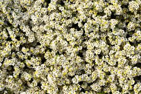 picture of marshes  - Overhead view of pretty limonium marsh rosemary or sea lavender with ts dainty white flowers which grow on salt marshes in a full frame background view - JPG