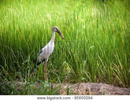 Heron Bird In Rice Field