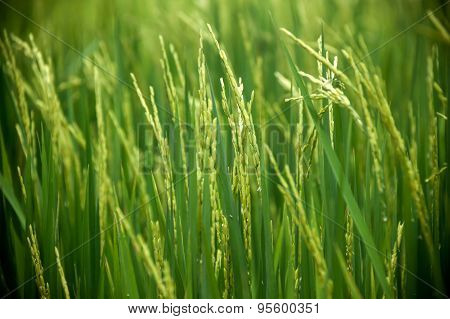 Paddy Farm