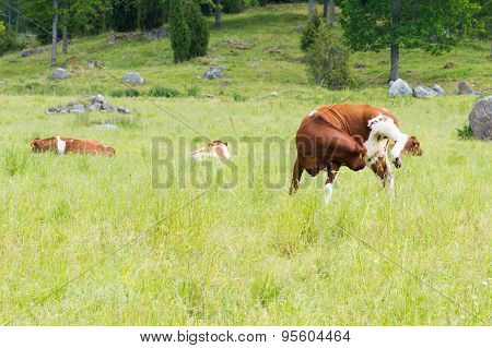 Cow Standing On Three Legs