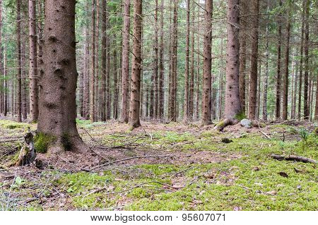 Pines In Pineforest