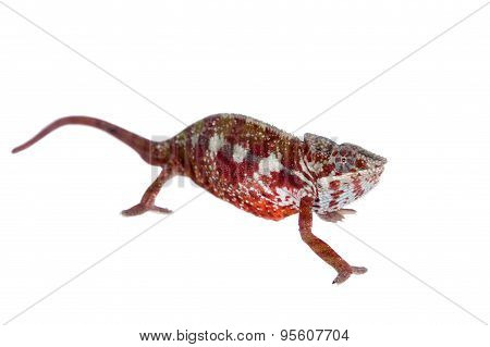 The panther chameleon, Furcifer pardalis on white