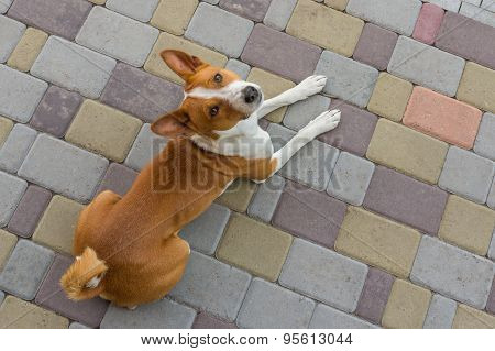 Dog looking above lying on a street pavement