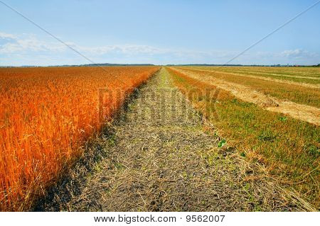 Ripe Wheat And Harvested Barley Fields
