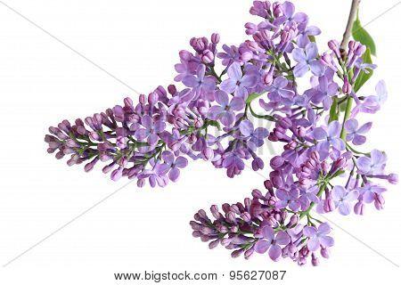 Liclac Flowers