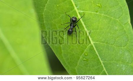 Black Carpenter Ant on Watercress Leaf.