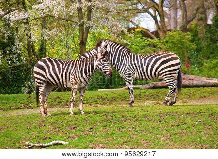 Zebra, Serengeti , Tanzania, East Africa