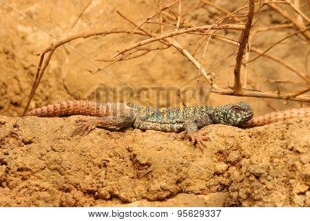 Ornate Spiny-Tailed Lizard Uromastyx ornate
